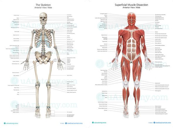 welcome to Ms stephens anatomy and Physiology and Environmental – Chapter 5 Skeletal System Worksheet Answers